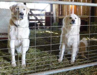 Two dogs sitting on hay in a barn